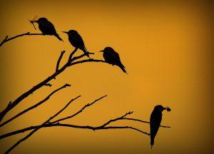 european-bee-eater-852588_1920