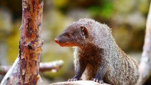 mongoose-1523890_1920